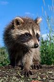 Baby raccoon on a log