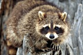 Adult raccoon in a tree