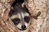 Baby raccoon in a tree hollow