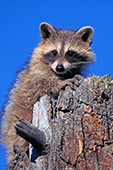 Young raccoon on a tree stump