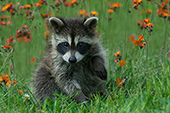 Baby raccoon in a spring meadow