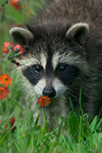 Baby raccoon sniffing a flower
