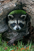 Baby raccoon playing in a hollow log