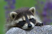 Raccoon kit sleeping on a log