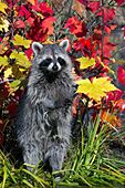 Raccoon standing on its hind legs in autumn foliage