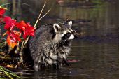 Raccoon searching for food in a pond