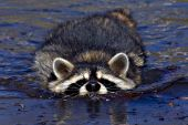 Raccoon swimming across a pond