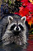 Raccoon in shallow water