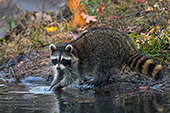 Adult raccoon foraging for food in a pond