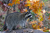 Adult raccoon in fall foliage