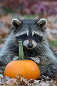 Raccoon sitting in autumn leaves with a pumpkin