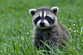 Baby raccoon exploring in the grass