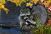Pair of raccoons near the edge of a pond in autumn