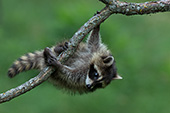Young raccoon climbing upside-down in a tree