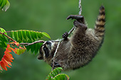 Young raccoon precariously hanging upside-down while climbing a tree