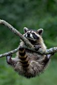 Young raccoon climbing a tree