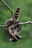 Young raccoon hanging upside-down in a tree