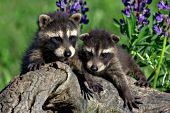 Pair of sibling raccoon kits playing on a log