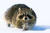 Raccoon running in snow