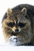 Raccoon seemingly making a snowball in a snowy field