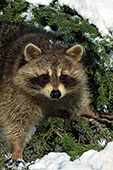 Raccoon in a snowy pine tree
