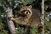 Raccoon in a snowy pine tree with its tongue out