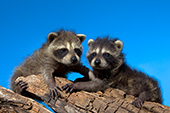 Pair of raccoon kits playing on a log