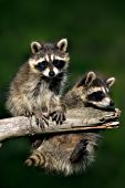 Pair of baby raccoons hanging from a branch