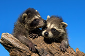 Pair of baby raccoons climbing on a log