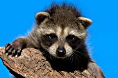 Baby raccoon climbing on a log