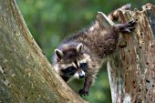 Raccoon kit climbing a dead tree