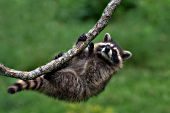 Raccoon kit hanging on to a branch upside-down