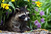 Raccoon kit on a log with wildflowers